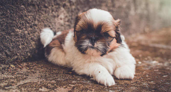 Toy Dog Breeds Pictures And Names : Popular small and toy dog breeds in the uk james wellbeloved